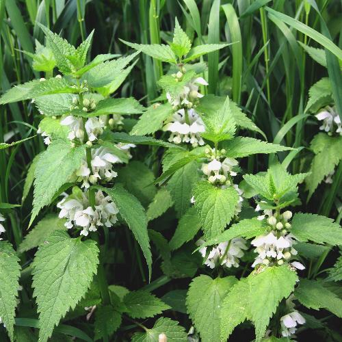 Eetbare wilde plant witte dovenetel